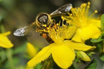 Honeybee on flower Wort - Northern Vosges France