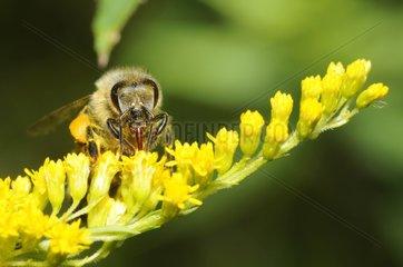 Honeybee on Canada Goldenrod flowers - Northern Vosges