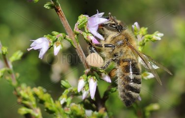 Honeybee on - Northern Vosges