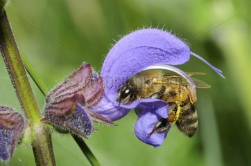 Honeybee on Meadow Clary - Northern Vosges