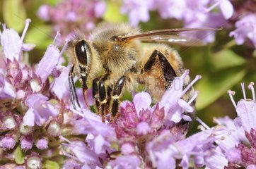 Honeybee on Large Thyme flowers - Northern Vosges