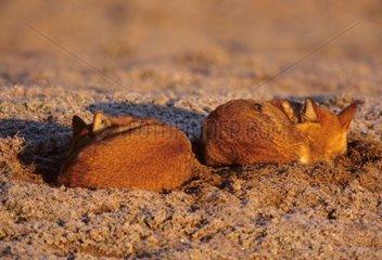 Simian chacal sleeping Bale NP Ethiopia
