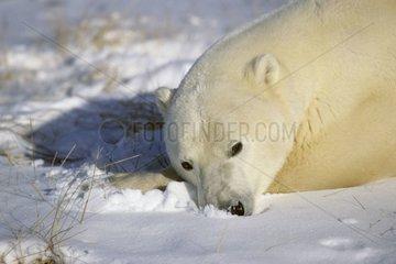 Polar bear lying in snow Canada