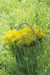 Wicker basket filled with Cowslip primrose in April