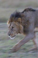 Lion male walking in savana Maasai Mara Kenya