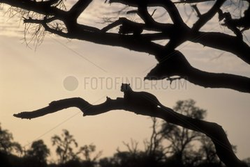 Silhouette of Leopard laid down on a branch Africa