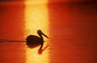 American White Pelican at sunset Sanibel Island Florida USA