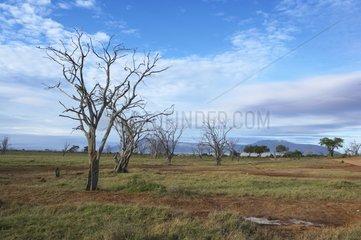 Trees destroyed by salt Tsavo National Park East Kenya