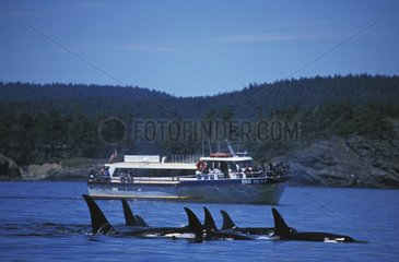 Orcas swimming near the surface near a tour boat USA