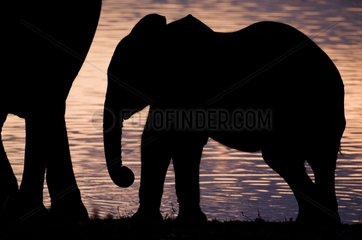 Elephant calf silhouetted against Okaukuejo waterhole