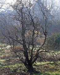 Filbert 'Contorta' in a garden