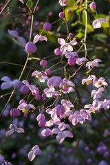 Meadow-rue in bloom in a garden