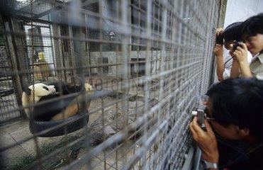 Touristes photographiant un Panda géant dans sa cage