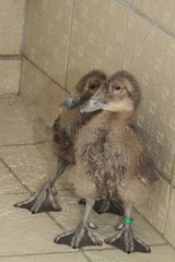 Young Spectacled eiders on tile