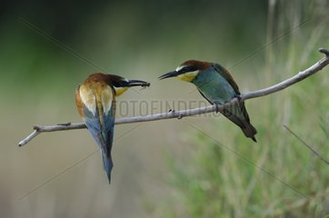 European Bee-eater giving an insect to its partner France