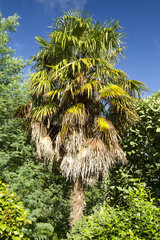 Chinese windmill palm (Trachycarpus fortunei)