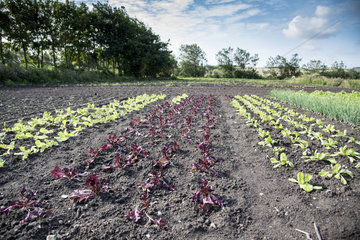Young salad plants  summer  Pas de Calais  France