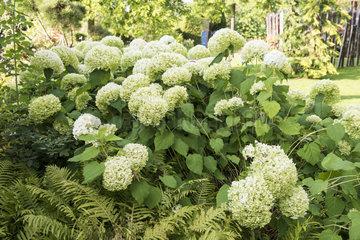 Hydrangea (Hydrangea sp) 'Annabelle' in a garden  autumn  Pas de Calais  France