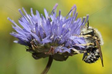 Cotton Bee male on Sheep's-bit flower - Northern Vosges