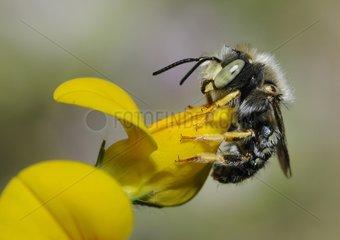Cotton Bee male on Bird's foot trefoil - Northern Vosges