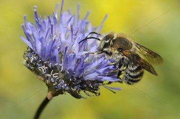 Cotton Bee female on Sheep's-bit flower - Northern Vosges