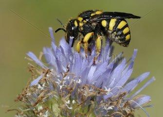 Cotton Bee female on Sheep's-bit flower - Aquitaine France