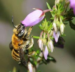Anthophora Bee on Scotch heath - Aquitaine France