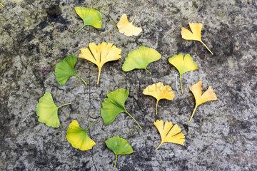 Ginkgo Biloba leaves  autumn  Somme  France