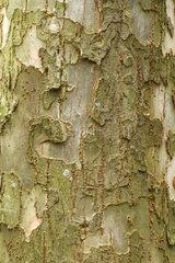 Hebei elm (Ulmus lamellosa)