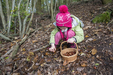 Girl harvesting chestnuts in a forest  Moselle  France