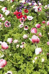 Massif of anemones in a garden  spring  Pas de Calais  France