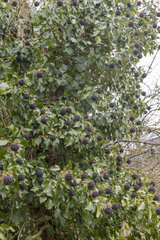 Ivy climbing (Hedera helix) in fruit in a garden  winter  Moselle  France