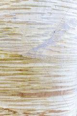 Birch (Betula costata) bark  Somme  Pas de Calais  France