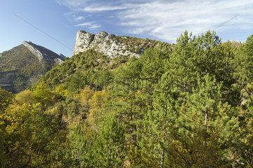 Black pine (Pinus nigra) and downy oak (Quercus pubescens)  Adret d'Ubrieux  Buis-les-Baronnies  Drôme  France