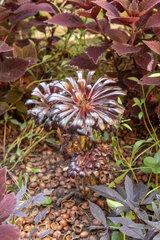 Aeonium arboreum 'atropurpureum' in a garden  summer  Moselle  France