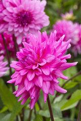 Cactus Dahlia 'Herbert Smith'