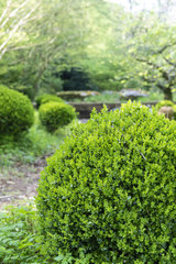 Box tree (Buxus sp) shaping in a garden  spring  Somme  France