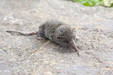 Lesser shrew (Crocidura suaveolens) on a stone in a garden  summer  Pas de Calais  France