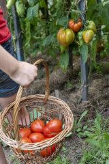 Girl harvesting tomatoes 'Coeur de boeuf' in a basket  summer  Moselle  France