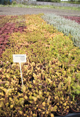 Sedum 'Yellow gold' in a greenhouse  spring  Pas de Calais  France