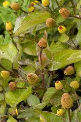 Para cress (Acmella oleracea)