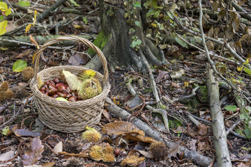 Harvest of chestnuts in a wicker basket in a forest  autumn  Moselle  France
