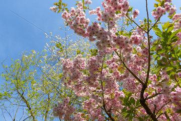 Prunus 'Kursar' in bloom in a garden  spring  Somme  France