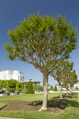 Crape myrtle (Lagerstroemia indica)  jardin du Mail  Angers  France