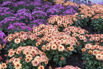 Chrysanthemums in bloom in a garden  autumn  Germany