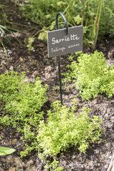 Savory in a garden  summer  Pas de Calais  France