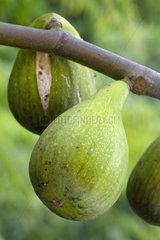 Fig (Ficus carica) 'Dalmatia'