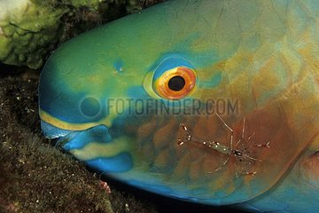 Spotted Cleaner Shrimp cleaning a Redlip Parrotfish at night