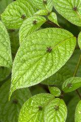 Helwingia (Helwingia japonica)
