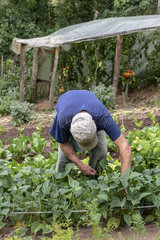 Picking beans net dwarf mangetout 'Sans Fil'  summer  Moselle  France